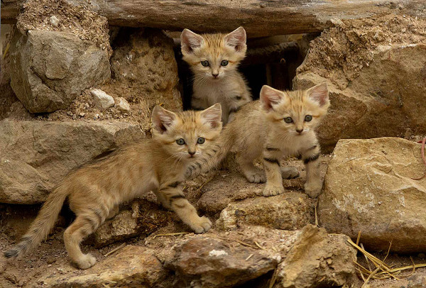 three sandcats